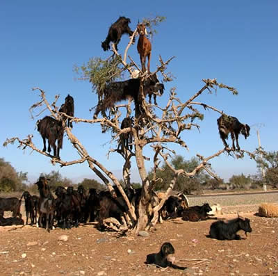 Goats in trees. Freakin awesome